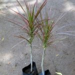 Dracinia Colouroma Red