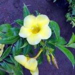 Alamanda Yellow