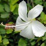 Hybiscus White
