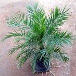 Phonin Palm